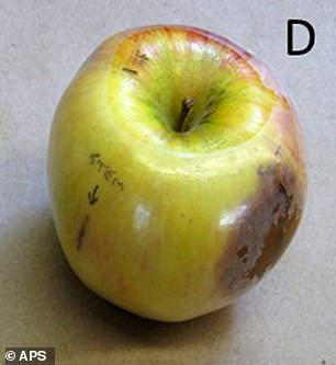 Also of note, this research was conducted using apples to do the initial isolation of Phytophthora