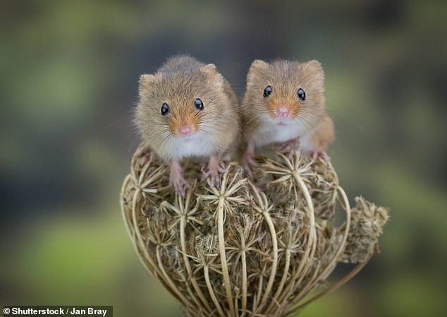 A Couple of Harvest Mice seen in this stock image. The team found mice used song like ultrasonic vocalisations to attract a mate