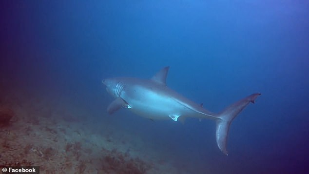 Cocci was diving with the Walker's Dive Charters last week and on the second day, February 11th, he spotted the massive great white. 'It appeared out of the dark blue haze like an apparition ¿ and it was massive,' Cocci told FLORIDA TODAY