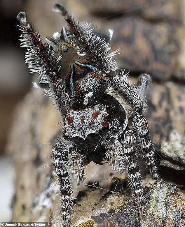 The new species call Western Australia's south-west home. Pictured is theMaratus combustus