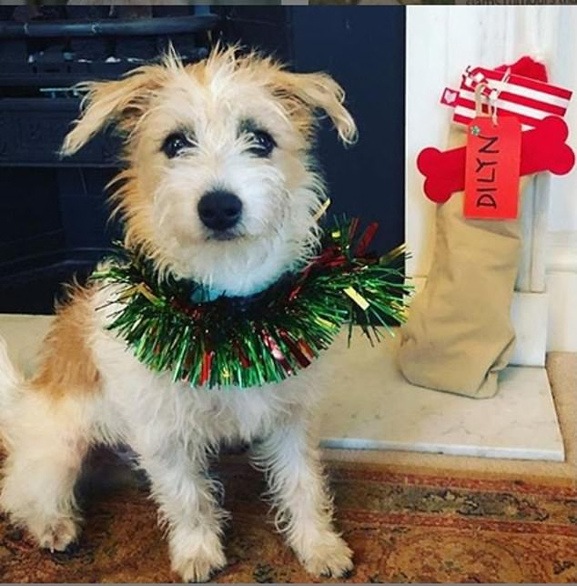 Dilyn celebrated his first Christmas at Downing Street with new owners Boris Johnson and Carrie Symonds by wearing a stylish tinsel necklace