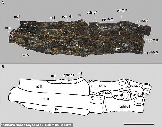 The carnivorous reptile — dubbed 'Aratasaurus museunacionali' — was unearthed from a layer of dark shale in the Pedra Branca mine in Ceará State by a local resident. Pictured, the fossilised foot bones of the newly-identified species of dinosaur