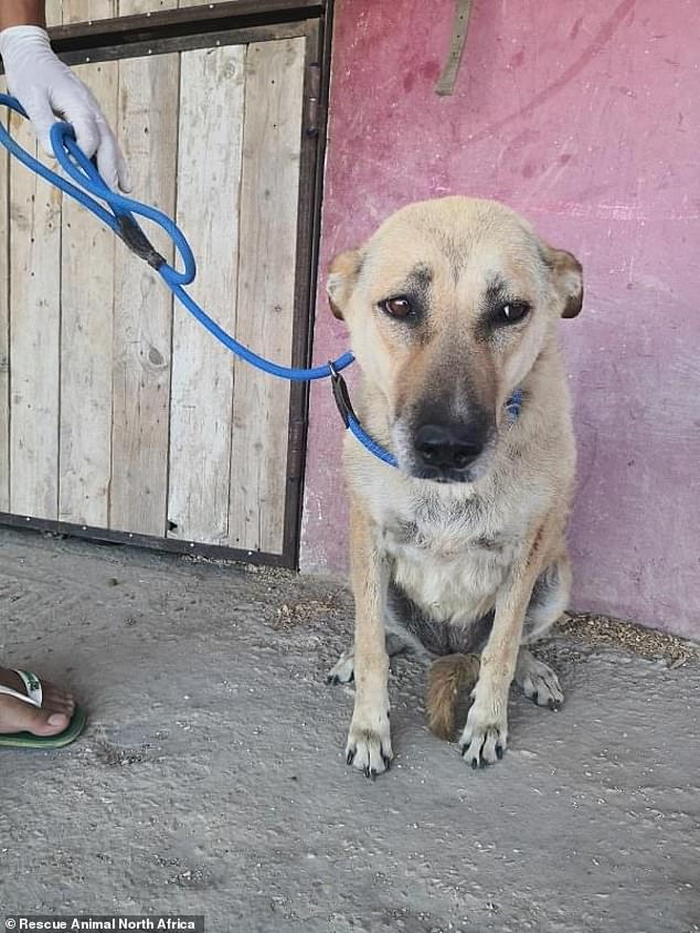 One anonymous dog shelter owner in the area said Tunisians were angry with Tiziana for letting hundreds of dogs roam around the streets without vaccinations, something she strongly denied. Pictured, one of her street dogs