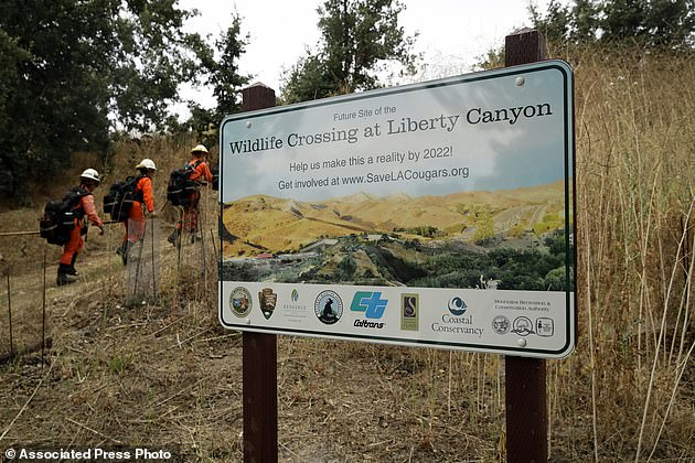 When completed, the Wildlife Crossing at Liberty Canyon it will connect animals south of the 101 to populations in the north, including the Simi Hills, the Santa Susana Mountains and Los Padres National Forest