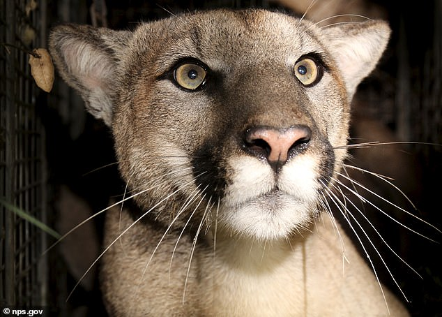 Biologists encountered a juvenile male cougar,designated P-81, with an L-shaped tail and only one descended testicle. Such deformities are signs of low genetic diversity and possible inbreeding, and a threat to the species' survival
