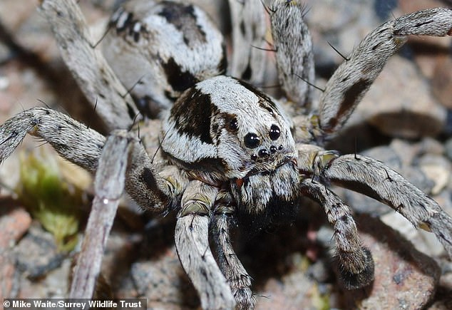 Great Fox-Spiders have excellent eyesight with wrap-around vision provided by eight black eyes on its head. Pictured, one of the males