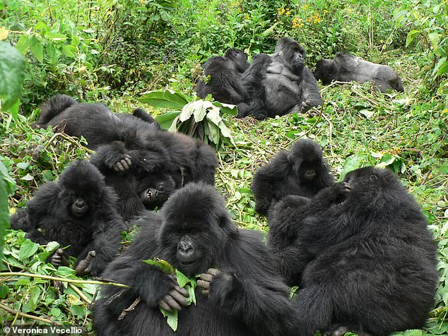 Mountain gorillas will gladly greet other groups of the great apes and welcome long-lost friends — providing they don't encroach on their core territory, a study found