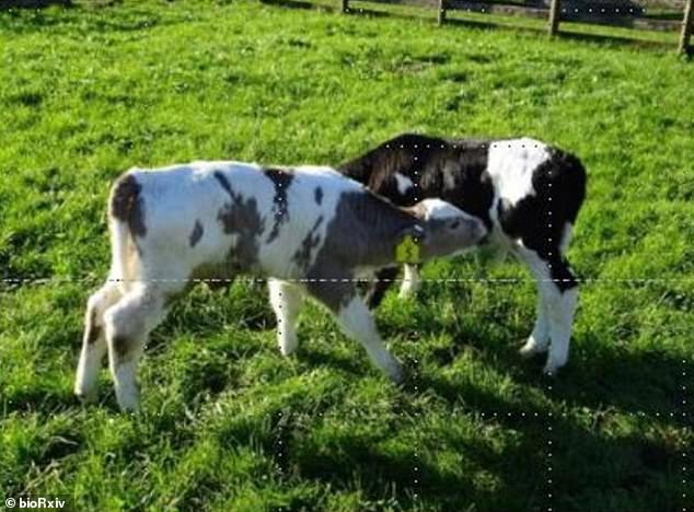 A team from New Zealand is using CRISPR genome editing to create cows with gray patches instead of black, which would decrease the amount of heat the animal absorbs while in pasture