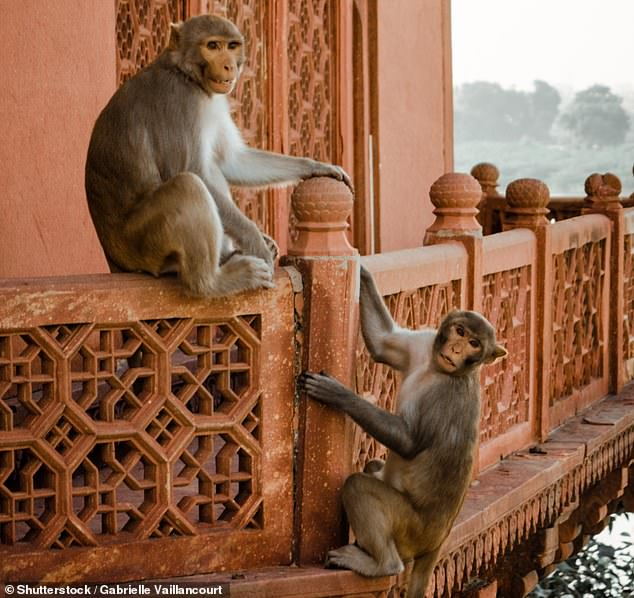 Two men have been killed after a fight that broke out between two groups of monkeys in the Indian city of Agra caused a wall to collapse on them (file image)