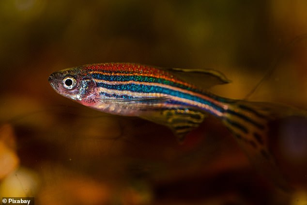 Least killifish produced fewer offspring after being exposed to less than a tenth of the estrogen concentration found in some streams near sewage plants