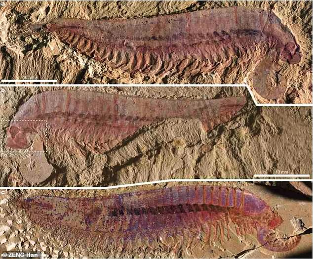 Six shrimp-sized fossils were dug up at a rock formation in Yunnan Province, south west China, and they combine features from different arthropods of the early Cambrian period, according to the team behind the study