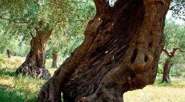 Venafro: domenica 27 ottobre la terza edizione della camminata nazionale tra gli olivi.