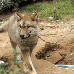 Κατοικίδιος σκύλος αποδείχτηκε λύκος