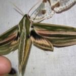 Νυχτοπεταλούδα τρίβει τα γεννητικά της όργανα για να διώξει νυχτερίδες