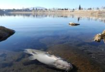 As many as 100, 000 trout, catfish, and bass have died due to low oxygen levels in the lake, according to the Nevada Department of Wildlife.
