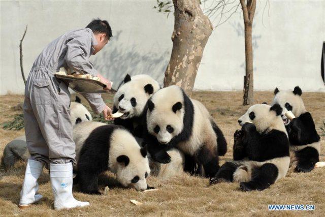 CHINA-SICHUAN-PANDA-SPRING FESTIVAL (CN)