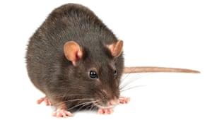 rat against white background