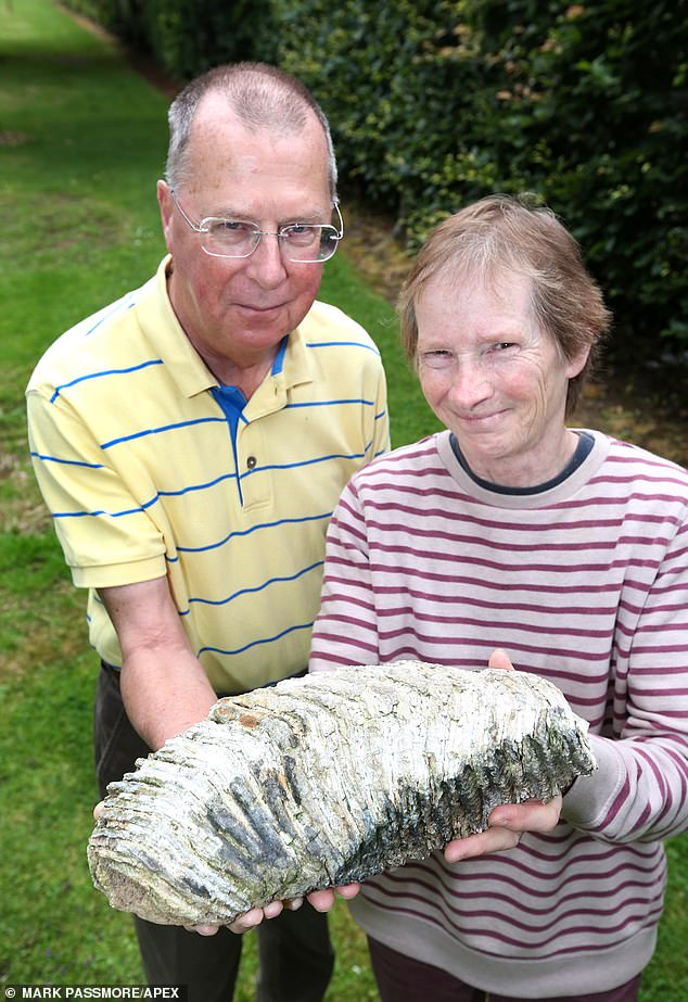 Mrs Huyshe-Shires said the tooth looked like a broken ornament on first inspection. The ormous mammoth tooth has been accidentally discovered next to a broken plant pot in a Devon garden