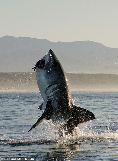 Another successful hunt by a great white