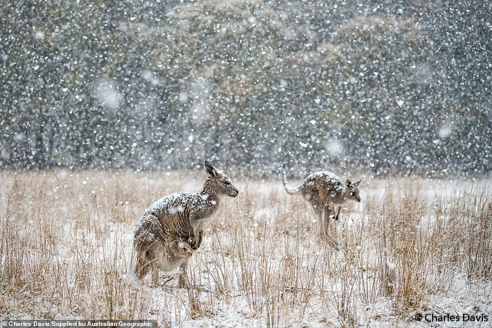 In its natural habitat: The Eastern grey kangaroo pictured in Kosciuszko National Park, New South Wales, by Charles Davis. 'The snow started coming down like large snowballs and the roos could do nothing but stand and be engulfed in the blizzard,' he said. 'The snow swirled around them from all directions and in 10 minutes the world was white.'