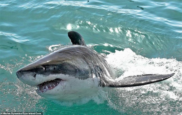 It is believed the complete lack of sightings of great white sharks in the area is the first time in recorded history. Experts said: 'We are at a loss at present as to why they have suddenly gone AWOL'