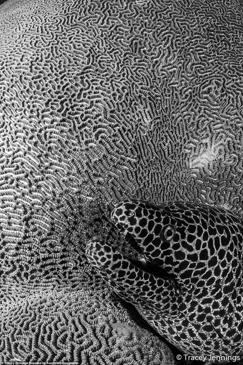 Double take: Tracey Jennings, from the UK,came across this amazing juxtaposition of a honeycomb moray eel and a textured brain coral in the Banda Sea, which is located in the Maluku Islands of Indonesia