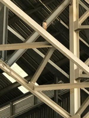 A falcon in a Qantas hangar in Sydney.