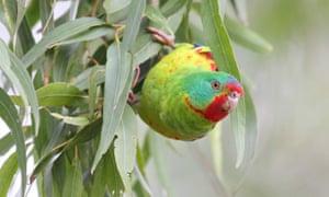 A swift parrot