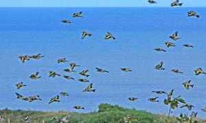 A small part of a vast flock of goldfinches feeding along the cliffs at Dawdon