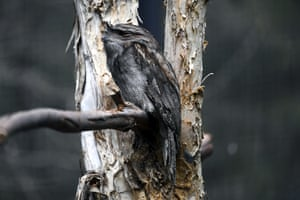 The tawny frogmouth came second in the 2019 Australian bird of the year poll.