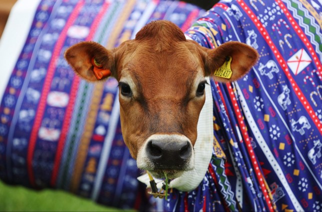 Jersey cows wearing christmas jumpers