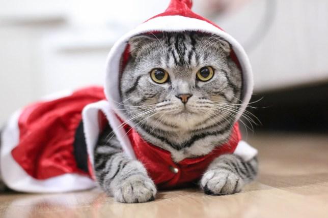 A cat in fancy dress