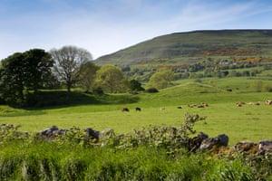 Ireland, Co Sligo, Strandhill, cattle grazing at base of Knocknarea Mountain. Image shot 06/2016. Exact date unknown.G8T0DB Ireland, Co Sligo, Strandhill, cattle grazing at base of Knocknarea Mountain. Image shot 06/2016. Exact date unknown.