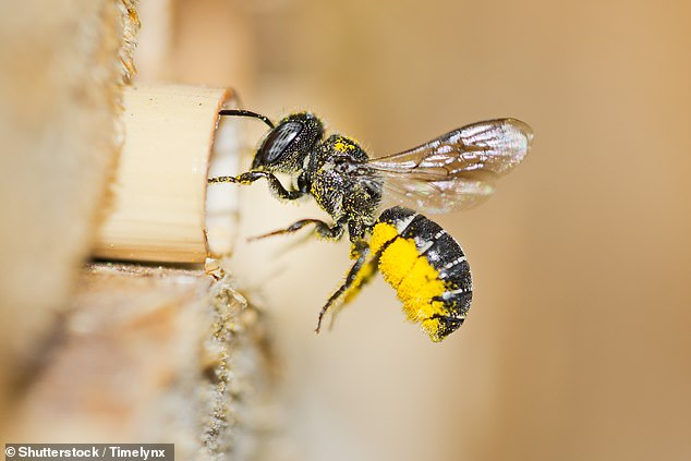 Solitary mother bees check out the state of neighbouring nests before deciding where to establish their own nest, study reveals. The animals live on their own and females build their own nests (stock)