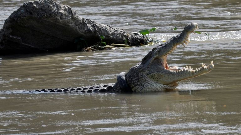 A crocodile with a used motorcycle tyre around its neck in Palu, Central Sulawesi province, Indonesia