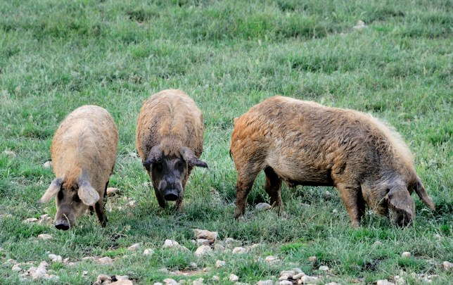 Mangalica pigs at a farm in Hungary