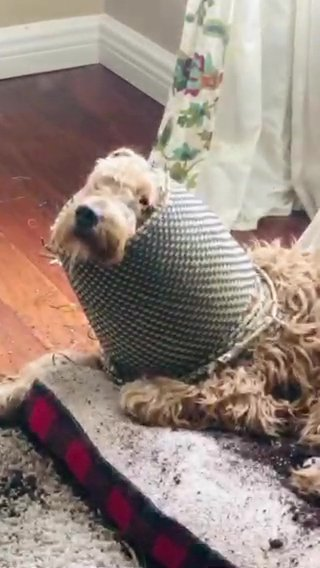 Golden Doodle, named Berkeley who trashed a plat pot and wore it on his head.