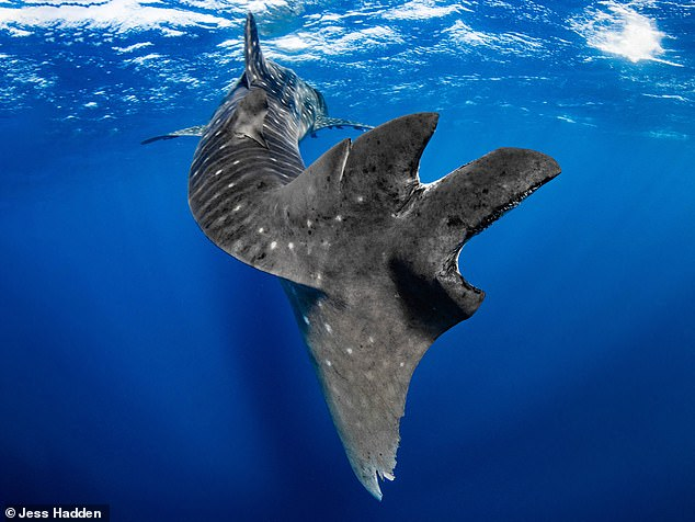 Researchers in Australia tracked 913 whale sharks between 2008 and 2013 and found some 20 percent should signs of injury consistent with having collided with a commercial ship, including injuries such as amputation or deep laceration