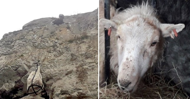 Sheep trapped at Great Orme, Llandudno, after escaping dog