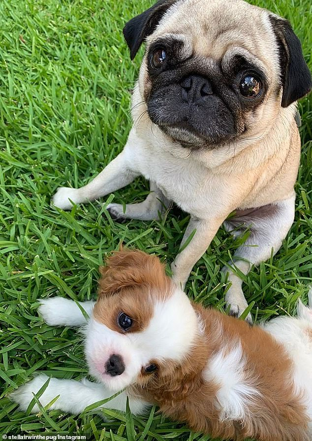 The cutest influencers!On the two dogs' account, which boasts 95,600 followers, they revealed that Piggy would 'officially' be joining Stella (pictured) as an Instagram star