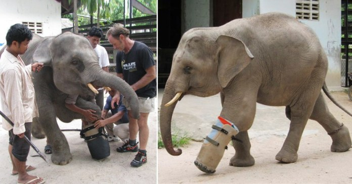 Elephant fitted with new prosthetic leg after getting caught in poacher's snare