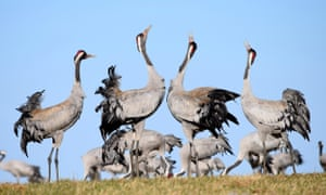 Pairs of common cranes display with trumpeting sounds at Lake Hornborga, west Sweden.