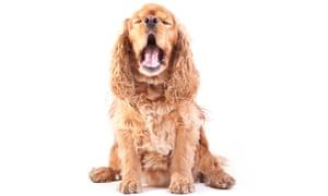 American Cocker Spaniel Dog (studio shot).
