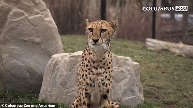 The team has noted that Kibbi (pictured), which is six and a half years old, and Isabella, which is 9 years old, have genes that are valuable in maintaining a strong lineage of cheetahs in human care
