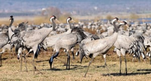 Stately and elegant, common cranes stand up to 1.3 metres tall.