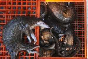 Dead pangolins seized in North Sumatra