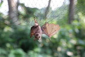 Bats are trapped in nets