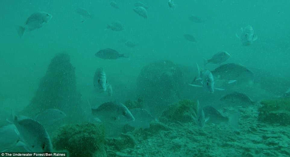 The ancient forest sits just 15 miles off the coast, some 60 feet beneath the surface – but, it remained concealed beneath the mud and sand for thousands of years