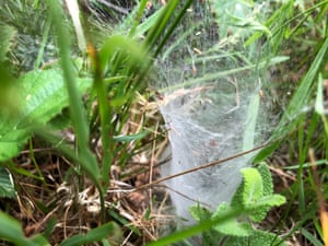 A labyrinth spider web from the side. The spider waits within its thickly-woven tunnel.
