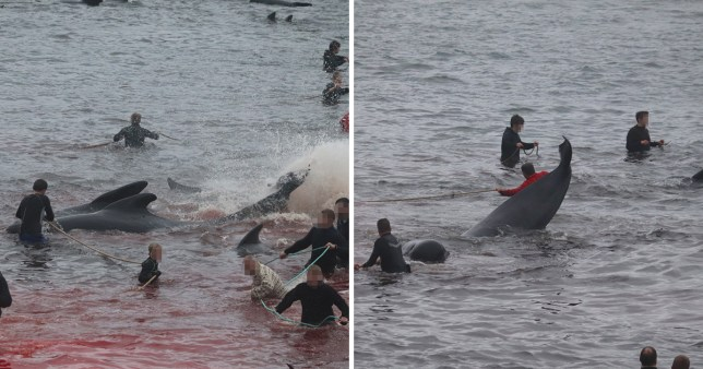 Around 800 whales and dolphins are killed for meat every summer in the Faroe Islands